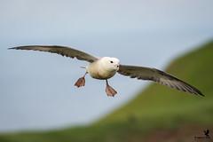 Norther Fulmar Returning (Osprey-Ian) Tags: grimseyisland iceland northernfulmar