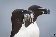 The Catch of the Day - Razorbill (Osprey-Ian) Tags: grimseyisland iceland razorbill