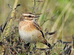 Whinchat (davidhampton1066) Tags: whinchat bird dintonpastures reading birds