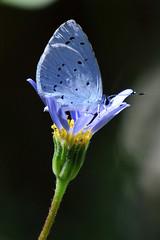 Azuré des nerpruns, Celastrina argiolus, Holly blue (CIP46) Tags: celastrinaargiolus azurédesnerpruns hollyblue