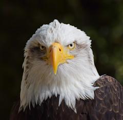 You got the look! #3 (MJ Harbey) Tags: bird eagle baldeagle birdofprey haliaeetusleucocephalus aves accipitriformes accipitridae hawkconservancytrust andover hampshire nikon d3300 nikond3300