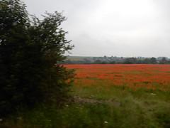 Poppy invaded field (cleanskies) Tags: poppy poppyfields fieldpoppies