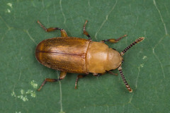 87612 (NakaRB) Tags: 2018 insecta coleoptera