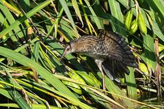 Water Rail (robin elliott photography) Tags: waterrail wildfowl bird birds waterbirds wings feathers colour nature wild wildlife outdoors outside nikon nikond850