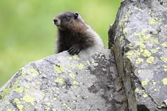Juvenile Hoary Marmot, Marmota caligata (jlcummins) Tags: mountrainiernationalpark chinookpass washingtonstate piercecounty mammal nature marmotacaligata