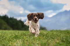 Running in the grass (The Papa'razzi of dogs) Tags: grass zigzag spaniel landscape pet nature dog outdoor hund mountains cocker animal