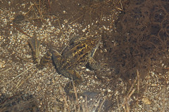IMG_1093 (Laurent Lebois ©) Tags: laurentlebois france nature montagne mountain montana pyrénées pirineos pyrenees paysage landscape пейзаж paisaje saintlarysoulan neouvielle picdemadamette lacaubert hautespyrénées amphibien batracien amphibians afibi anfibio amphibia grenouille crapaud frog toad rana sapo rospo frosch kröte лягушка жаба anura