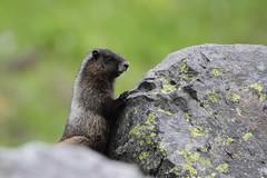 Hoary Marmot (jlcummins) Tags: mountrainiernationalpark chinookpass washingtonstate piercecounty mammal nature