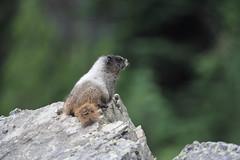 Juvenile Hoary Marmot, Marmota caligata (jlcummins) Tags: mountrainiernationalpark chinookpass washingtonstate piercecounty mammal nature marmotacaligata ngc npc