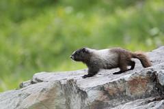 Young Hoary Marmot (jlcummins) Tags: mountrainiernationalpark chinookpass washingtonstate piercecounty mammal nature