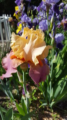 Iris Beds (Mamluke) Tags: mamluke minnesota iris beardediris bearded flower fleur petals spring may irises garden jardin blume fiore flor