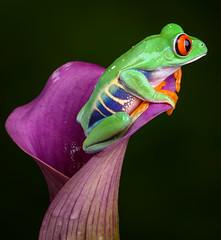 Red-Eyed Tree Frog, CaptiveLight, Ringwood, Hampshire, UK (rmk2112rmk) Tags: redeyedtreefrog captivelight frog treefrog agalychniscallidryas amphibian herps calla flower animal cute