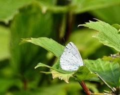 Holly Blue (P. Stubbs photo) Tags: celastrinaargiolus hollyblue