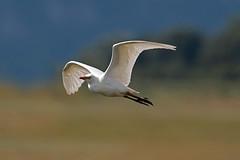 cattle egret (DODO 1959) Tags: wildlife cattleegret avian outdoor fauna flight heron nature birds canon 100400mmmk2 7dmk2 carmarthenshire wales llanelli wwt