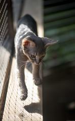 Stroll (peter_hasselbom) Tags: cat cats kitten kittens abyssinian 13weeksold blue porch ledger shelf net sun afternoon 105mm