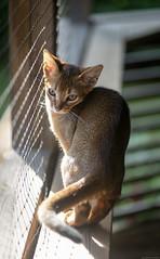Turn (peter_hasselbom) Tags: cat cats kitten kittens abyssinian 13weeksold ruddy usual porch ledger shelf net sun afternoon 105mm