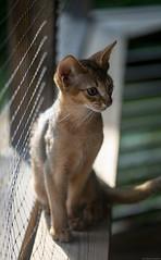 Sit (peter_hasselbom) Tags: cat cats kitten kittens abyssinian 13weeksold ruddy usual porch ledger shelf net sun afternoon 105mm