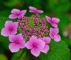 Raindrops keep falling (L@nce (ランス)) Tags: micro macro nikkor nikon canada britishcolumbia victoria vancouverisland jamesbay flower flowers bud buds leaves