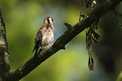 Goldfinch at Magdalen Hill Down, Winchester (Art-G) Tags: bird goldfinch magdalenhilldown winchester hampshire uk canon eos7dmkii sigma150600c wildlife bokeh sundaylights