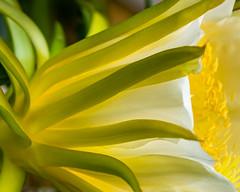 Tropical Beauty (risaclics) Tags: dragonfruit flora flowering flowers 60mmmacro august2019 nikond610d bloom blossom tropical white yellow floweringdragonfruit