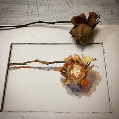 Day 1473. The #rose #painting for today. #watercolour #watercolourakolamble #sketching #stilllife #flower #art #fabrianoartistico #hotpress #paper #dailyproject (akolamble) Tags: rose painting watercolour watercolourakolamble sketching stilllife flower art fabrianoartistico hotpress paper dailyproject