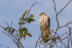 Cuban Kestrel