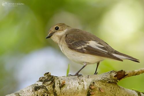 Pied flycatcher - fem