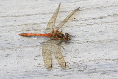 Common Darter (Baractus) Tags: common darter male dragonfly john oates lakes earlswood westmidlands uk