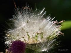 Distel nach der Blüte (Brenda-Gaudi) Tags: pflanzen samenstand distel botanik garten duesseldorf nrw germany