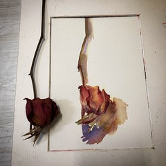 Day 1472. The #rose #painting for today. #watercolour #watercolourakolamble #sketching #stilllife #flower #art #fabrianoartistico #hotpress #paper #dailyproject (akolamble) Tags: rose painting watercolour watercolourakolamble sketching stilllife flower art fabrianoartistico hotpress paper dailyproject