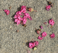 Pink Crepe Myrtle blossoms fallen on the sidewalk (Monceau) Tags: pink crepemyrtle blossoms fallen sidewalk
