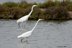(Enllasez - Enric LLaó) Tags: aves aus bird birds ocells pájaros agroblanc garza 2019 deltadelebre deltadelebro delta