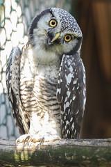 Fleckeneule (jasmin394) Tags: olympus em1ii mzuiko40150f28pro vogel bird eule fleckeneule wildlife natur portrait raubvogel
