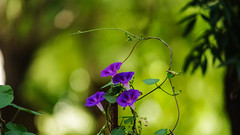 _IMG9872 (angel.doychinov) Tags: 400mm pentax k1 flowers bokeh pentor manualfocus oldlens beyondbokeh