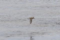Common Sandpiper (Tenspeed2) Tags: common sandpiper