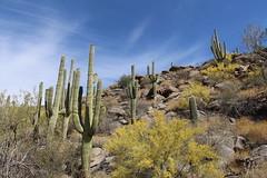 Tortolita Mountains (lars hammar) Tags: tortolitamountains cactus saguaro saguarocactus
