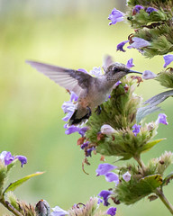 Sitting out back on a hot humid day-10 (Chimmih) Tags: humming birds tamron 70300 lancaster county pa
