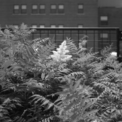 untitled (kaumpphoto) Tags: rolleiflex tlr 120 city urban street minneapolis leaves plants flower window fence grid ilford hp5 bw black white