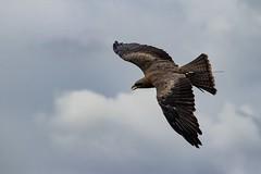 Flight (GaryAChurch123) Tags: zoomlens photography wingspan safaripark wildlife feathers wings sky lseries beak wing flight bird scotland 77d canon