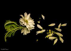 She loves me, she loves me not (lamoustique) Tags: daisy stilllife reflection flower