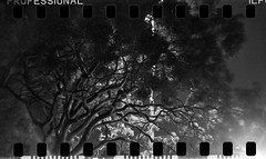 Sydney (Bill Thoo) Tags: sydney nsw newsouthwales australia tree branches park urbannature city night landscape citylights backlighting film filmgrain grain analog analogue filmcamera 35mm 35mmfilm monochrome bnw bw blackandwhite blackandwhitefilm holga holga120gfn 120 ilford ilforddelta3200 delta3200 rodinal r09 standdevelopment semistanddevelopment lofi lomo