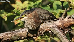 I know squat (Shannon Rose O'Shea) Tags: shannonroseoshea shannonosheawildlifephotography shannonoshea shannon juvenile greenheron heron bird beak yelloweye feathers wings butoridesvirescens trees leaves branches closeup close outdoors outdoor outside colorful colourful colors colours squat squatting bokeh wildwoodlake harrisburg pennsylvania dauphincounty nature wildlife waterfowl art photo photography photograph wild wildlifephotography wildlifephotographer wildlifephotograph femalephotographer girlphotographer womanphotographer shootlikeagirl shootwithacamera throughherlens flickr wwwflickrcomphotosshannonroseoshea smugmug camera canon canoneos80d canon80d canon100400mm14556lisiiusm eos80d eos 80d 80dbird canon80d100400mmusmii 2019 4921 canongirl