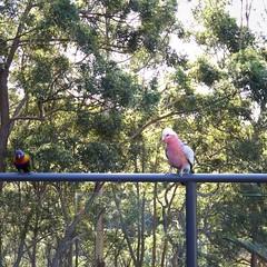 Galah #birds #iphonography (Ben Harris-Roxas) Tags: birds iphonography galah