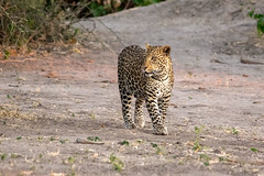 Leopard, Chobe (Nature's Image Photography) Tags: leopard bigcats wildlife nature africa