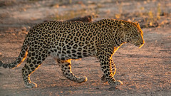 Backlit Leopard, Chobe (Nature's Image Photography) Tags: leopard wildlife nature bigcats africa