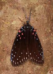 Chalcosiine Day-flying Moth (Amesia aliris, Chalcosiinae, Zygaenidae) (John Horstman (itchydogimages, SINOBUG)) Tags: insect macro china yunnan itchydogimages sinobug entomology canon moth lepidoptera chalcosiinae zygaenidae