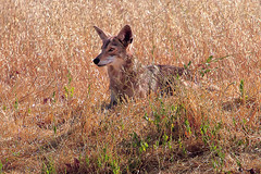 Coyote (Canis latrans) (GerryL) Tags: gerryl sacramento california canoneos7d canonextender14xii northnatomasregionalpark coyote canislatrans
