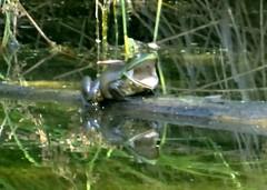 Apologies (EcoSnake) Tags: americanbullfrog lithobatescatesbeiana frogs amphibians yawning idahofishandgame naturecenter