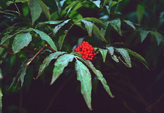 Berries (Bephep2010) Tags: 2019 beeren blätter feldbrunnenstniklaus lomography lomographycolornegative400 olympus olympusafzoom35180mm145156 olympusis3 olympusis3000 photoexif schweiz solothurn sommer switzerland wald analog analogue berries forest green grün leaves red rot summer rüttenen kantonsolothurn