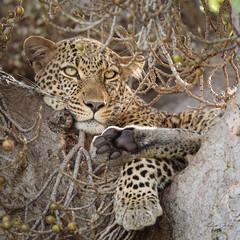 Kazuri the female Leopard (rickdunlap2) Tags: leopard bigcat animal wildlife predator maasaimara kenya africa